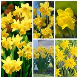 Zestaw narcyzów w kolorze żółtym - 70 szt.