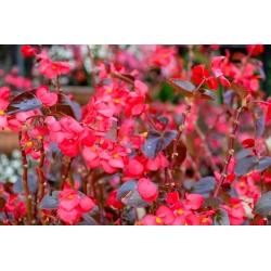 Begonia stale kwitnąca czerwona, czerwonolistna