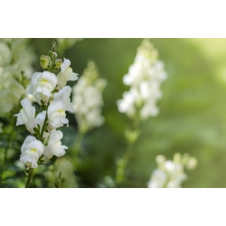 Lwia paszcza wysoka biała - 4000 nasion