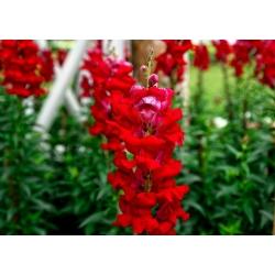 Lwia paszcza wysoka czerwona - 4000 nasion