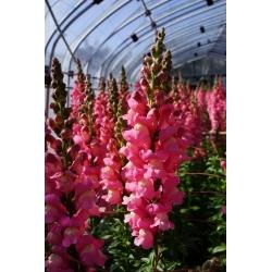 Lwia paszcza wysoka różowa - 4000 nasion