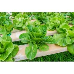 Mini ogród - Sałata rzymska - do uprawy na balkonach i tarasach