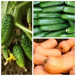 Ogórek, cukinia, dynia - zestaw 3 odmian nasion warzyw