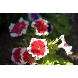 Petunia ogrodowa Iluzja - czerwona - 400 nasion
