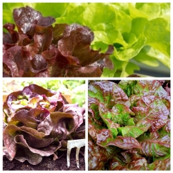 Sałata czerwono-zielona - zestaw 3 odmian nasion warzyw