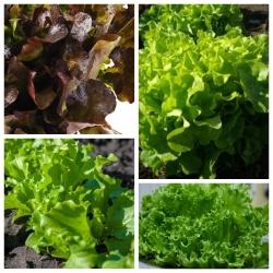 Sałata dębolistna - zestaw 4 odmian nasion warzyw