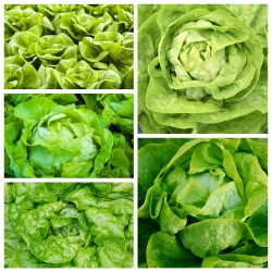 Sałata masłowa - zestaw 5 odmian nasion warzyw