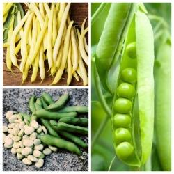 Bób, groch, fasola - zestaw 3 odmian nasion warzyw