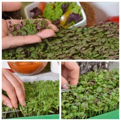 Microgreens - Orientale - niezwykły smak i aromat, dodatek do kuchni orientalnej - zestaw 3 szt. + pojemnik do uprawy