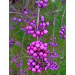 Pięknotka Profusion - fioletowe korale i kwiaty - duża sadzonka