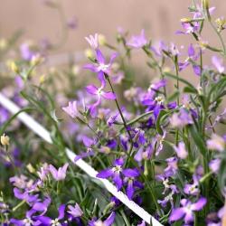 Maciejka - Intensywny zapach w ogrodzie