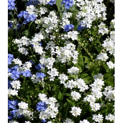 Niezapominajka alpejska  Biała - 660 nasion