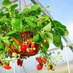 Truskawka Albion - zwisająca, powtarzająca, owocuje aż do mrozów - 20 sadzonek XL