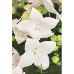 Platykodon, Rozwar wielkokwiatowy - White