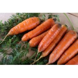 Marchew Broker, typ karotka - średniowczesna - 4250 nasion