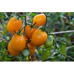 Pomidor gruntowy karłowy Jokato - pomarańczowy, średniowczesny, plenny