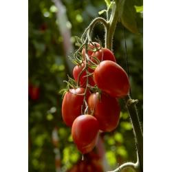 Pomidor gruntowy karłowy Lambert - średniowczesny, bardzo plenny, doskonały na przeciery