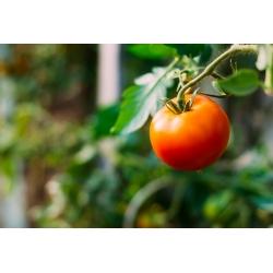 Pomidor gruntowy karłowy Lolek - pomarańczowy, bardzo późny, do długiego przechowywania
