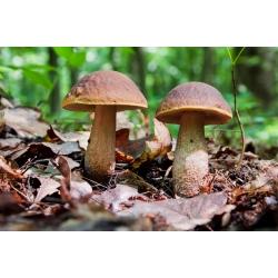 Koźlarz babka, Kozak, Koźlak – żywa grzybnia – większe opakowanie