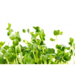 BIO EKO Nasiona na kiełki - Rokietta siewna - Certyfikowane nasiona ekologiczne