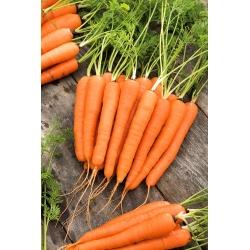 Marchew Lenka - średnio wczesna - 50 gram - 42500 nasion