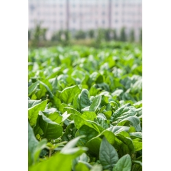 Szpinak Olbrzym Zimowy - 500 gram - 40000 nasion