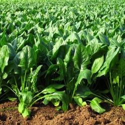 Szpinak Matador - 500 gram - 45000 nasion