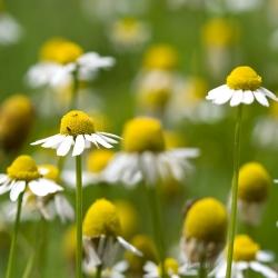 BIO Rumianek pospolity - certyfikowane nasiona ekologiczne
