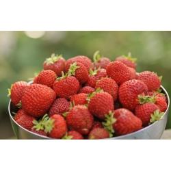 Truskawka Honeoye - wczesna o dużych owocach - 20 sadzonek