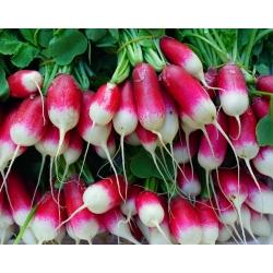 Rzodkiewka Bamba - wczesna, podłużna, czerwona z białym końcem, nasiona dla profesjonalistów