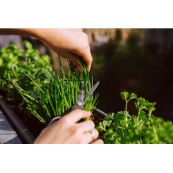 Szczypiorek Civette - wczesny, nasiona dla profesjonalistów