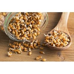 BIO Nasiona na kiełki -  Pszenica - certyfikowane nasiona ekologiczne