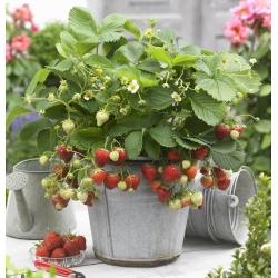 Truskawka Honeoye - wczesna o dużych owocach - sadzonka w doniczce