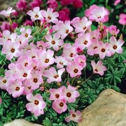 Szczawik chilijski - Oxalis Adenophylla - 5 cebulek