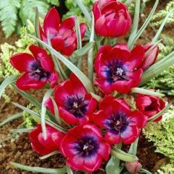 Tulipan Liliput - opak. 5 szt.