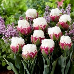 Tulipan Ice Cream - lodowy - 5 szt.