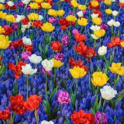 Zestaw kolorowych tulipanów z szafirkiem niebieskim - 50 szt.