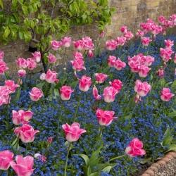 Tulipan Innuendo i niezapominajka alpejska niebieska - zestaw cebulek i nasion