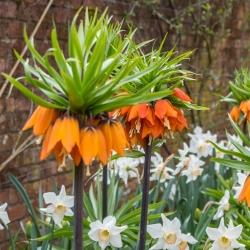 Zestaw - korona cesarska pomarańczowa i narcyz biały - 18 szt.
