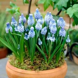 Szafirek błękitny - Muscari azureum - 10 cebulek