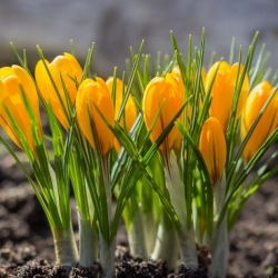 Krokus Golden Yellow - duża paczka! - 200 szt.