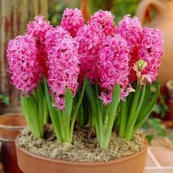 Hiacynt Pink Pearl - 3 cebulki