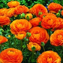 Jaskier azjatycki pomarańczowy - 10 cebulek