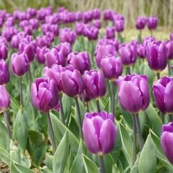 Tulipan Negrita - opak. 5 szt.