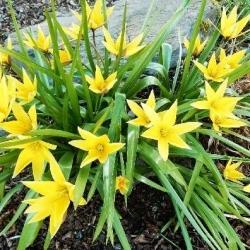Tulipan Urumiensis - opak. 5 szt.