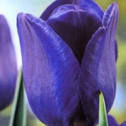 Tulipan niebieski - Blue - 5 cebulek