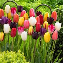 Tulipan - mieszanka kolorów - duża paczka! - 50 szt.