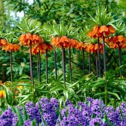 Zestaw - korona cesarska pomarańczowa i hiacynt niebieski - 12 szt.
