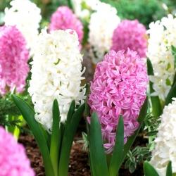 Zestaw hiacyntów w kolorach białym i różowym - 24 szt.
