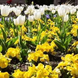 Tulipan biały i bratek wielkokwiatowy żółty - zestaw cebulek i nasion